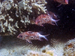 redcoat squirrelfish